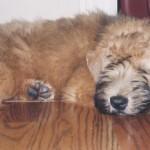 A 3-month old puppy.